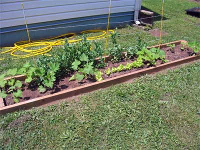 vegetables in the front yard